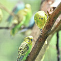Two Cute Little Parakeets In A Tree by DejaVu Designs
