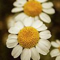 Two Daisies by Ignacio Leal Orozco