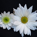 Two Daisies by Richard Mansfield