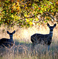 Two Deer In Autumn Meadow by Carol Groenen