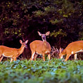 Two Doe And One Buck by Brian Wallace