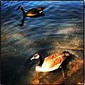 Two Ducks by Artie Rawls