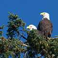 Two Eagles by Sharon Talson