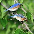 Two Eastern Bluebirds by Betty LaRue