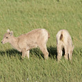 Two Ewes In The Badlands by Jeff Swan