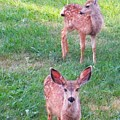 Two Fawn by Jeff Birr