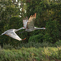 Two Florida Sandhill Cranes In Flight by Carol Groenen