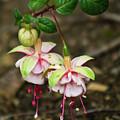 Two Fushia Blossoms by Douglas Barnett