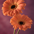 Two Gerberas 2 by Joseph Gerges
