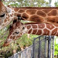 Two Giraffes by Jim Allsopp