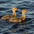 Two Goslings by Linda Kerkau