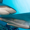 Two Gray Reef Sharks by Dave Fleetham - Printscapes