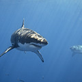 Two Great White Sharks by Photo by George T Probst