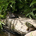 Two Green Frogs by B Rossitto