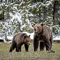 Two Grizzly Bears by Scott Read