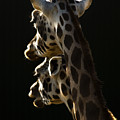 Two Headed Giraffe by Angel  Tarantella