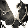 Two Horses In Sepia by Kelly Hazel