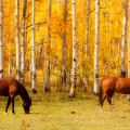 Two Horses In The Colorado Fall Foliage by James BO  Insogna