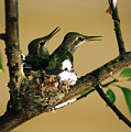 Two Hummingbird Babies In A Nest 5 by Xueling Zou