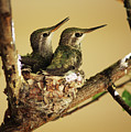 Two Hummingbird Babies In A Nest by Xueling Zou