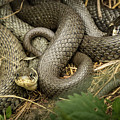 Two Intertwined Grass Snakes Lying In The Sun by Stefan Rotter
