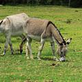 Two Jerusalem Donkeys In A Field by Robert Hamm