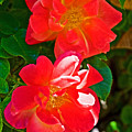 Two Joseph's Coat Roses At Pilgrim Place In Claremont-california by Ruth Hager
