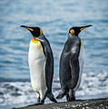 Two King Penguins Facing In Opposite Directions by Ndp
