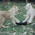 Two Lion Cubs Playing by Donna Brown