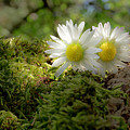 Two Little Daisies by Wolfgang Stocker