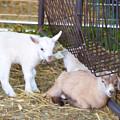 Two Little Goatlings by Jeelan Clark