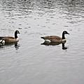 Two Lovely Canadian Geese by Douglas Barnett