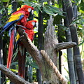 Two Macaws by Sparrow TwoTheKnee