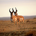 Two Male Pronghorn Antelopes In Alberta by Mark Duffy