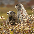 Two Marmots by Marv Vandehey