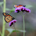 Two Monarchs On Verbena by Karen Adams