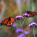 Two Monarchs Sharing 2011 by Karen Adams