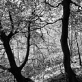 Two Monochrome Tress by Philip Openshaw
