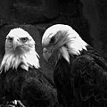 Two Montana Eagles Black And White by Adam Jewell