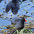 Two Moorhens by Jennifer Robin
