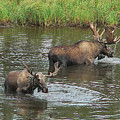 Two Moose Feeding by Art Berggreen