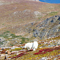 Two Mountain Goats On Mount Bierstadt In The Arapahoe National Fores by Steve Krull