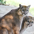 Two Mountain Lions by Catherine Sherman