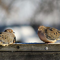 Two Mourning Doves by Denise Irving