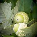 Two Oak Acorns by LeeAnn McLaneGoetz McLaneGoetzStudioLLCcom