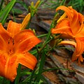 Two Orange Daylilies by Kathryn Meyer