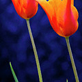 Two Orange Tulips On Blue by D W Steinbarger