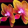 Two Orchids And A Bud by Phyllis Denton