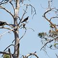 Two Osprey by Linda Kerkau