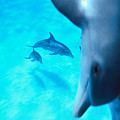 Two Pairs Of Dolphins by Ed Robinson - Printscapes